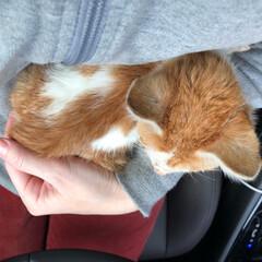 保護猫/茶白/保護猫出身/ネコ/ねこ/癒し/... 我が家にやって来た仔猫ちゃん❤️ 昨日、…