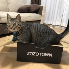 保護猫/キジトラ/ねこ/癒し/猫/きじとら/... 箱に入りたいけど、 おデブ軍曹さん🐈は …