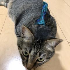 ネコ/きじとら/癒し/ねこ/保護猫/キジトラ/... 首輪のネクタイが頭にくる。。。  うちの…