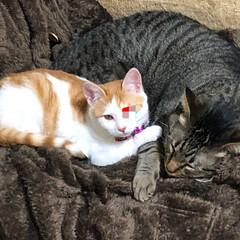 茶白猫/茶白/ネコ/ねこ/保護猫/保護ねこ/... 軍曹は私の物よ‼️的な🤣  どこの世界も…