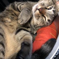 愛猫/ネコ/きじとら/ねこ/保護猫/キジトラ/... 軍曹さん🐈 お気に入りの、ねこ鍋で寝ると…