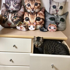 愛猫/きじとら/愛猫家/猫/キジトラ/ねこ/... 洗濯物を納めようとすると。。。 これ。。…