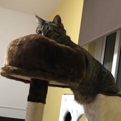 キジトラ/キジトラ猫/キジトラねこ/きじとら/保護猫出身/保護ネコ/... ぐ。。軍曹さん🐈。。。 お腹‼️お腹を隠…