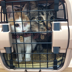茶白猫/茶白/保護猫/多頭飼い/ねこ/猫/... 凛🐈の病院💊💊 前、軍曹さん🐈を留守番さ…