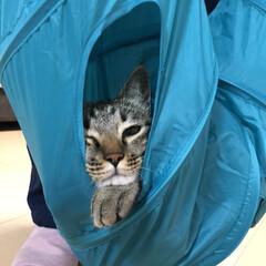 キジトラ/ネコ/癒し/保護猫/きじとら/猫/... 宙に浮かされたのに寝れる😴💤💭  うちの…