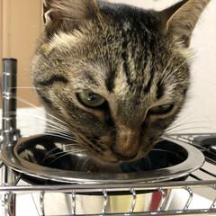 ねこ/きじとら/保護猫/ネコ/癒し/キジトラ/... ご飯を食べる時は怖い顔になります😱  う…