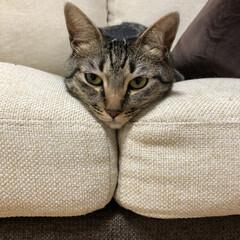 きじとら/癒し/愛猫家/ねこ/愛猫/ネコ/... ソファーの溝に綺麗にハマるのが 軍曹さん…