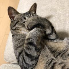 愛猫家/きじとら/ネコ/愛猫/癒し/ねこ/... 恥ずかしいぃー😆 なぁーんて。 伸び前の…