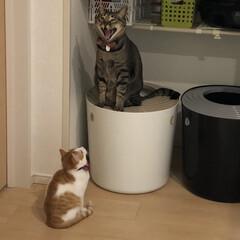 保護ネコ/保護ねこ/保護猫/茶白猫/茶白/多頭飼い/... トイレの上で大アクビする 軍曹さん🐈と …