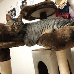 ネコ/癒し/ねこ/きじとら/保護猫/キジトラ/... 7キロの巨体の軍曹さん🐈は、 タワーで寝…
