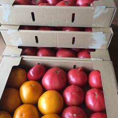 トマトソース トマト農家さんから譲ってもらった企画外の…