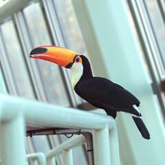 オニオオハシ/動物/動物園/円山動物園 オニオオハシが大好きです!