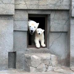 シロクマ/クマ/熊/親子/母/子/...  シロクマ最高です。 だいぶ前の画像にな…