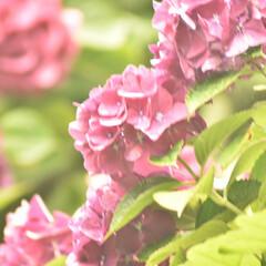一眼レフカメラ研究中/一眼レフのある暮らし/一眼レフのある生活/一眼レフ初心者/一眼レフカメラ/一眼レフ/... 梅雨の合間に紫陽花を撮影しに行ってきまし…(9枚目)