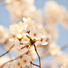 ニコン/Nikon/一眼レフ好きな人と繋がりたい/一眼レフ初心者/一眼レフのある生活/一眼レフのある暮らし/... 今年も桜を撮りに行ってきたよぉ(///ω…(4枚目)
