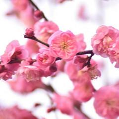 梅ジロー/メジロ/春/梅の花/梅 梅を撮りに行ったら、奇跡的に1羽のメジロ…(10枚目)