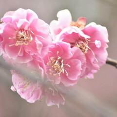 梅ジロー/メジロ/春/梅の花/梅 梅を撮りに行ったら、奇跡的に1羽のメジロ…(8枚目)
