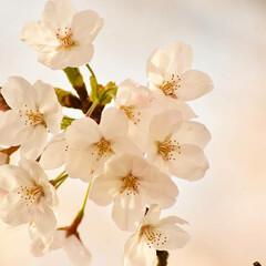 ニコン/Nikon/一眼レフ好きな人と繋がりたい/一眼レフ初心者/一眼レフのある生活/一眼レフのある暮らし/... 今年も桜を撮りに行ってきたよぉ(///ω…(6枚目)