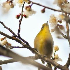 梅ジロー/メジロ/春/梅の花/梅 梅を撮りに行ったら、奇跡的に1羽のメジロ…(1枚目)