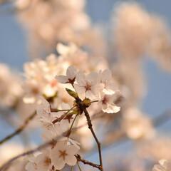 ニコン/Nikon/一眼レフ好きな人と繋がりたい/一眼レフ初心者/一眼レフのある生活/一眼レフのある暮らし/... 今年も桜を撮りに行ってきたよぉ(///ω…(7枚目)