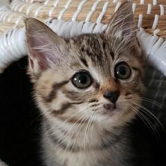 しずく/雫/保護ネコ/保護ねこ/保護猫/子猫を保護しました/... 家族が増えました(///ω///)♪  …(7枚目)
