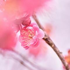 梅ジロー/メジロ/春/梅の花/梅 梅を撮りに行ったら、奇跡的に1羽のメジロ…(7枚目)