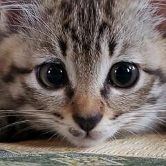 しずく/雫/保護ネコ/保護ねこ/保護猫/子猫を保護しました/... 家族が増えました(///ω///)♪  …(6枚目)