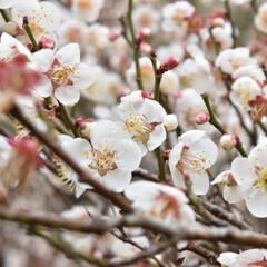 一眼レフのある暮らし/一眼レフカメラ/一眼レフ/春/梅の花/うめの花/... 梅の花(*´ー`*)