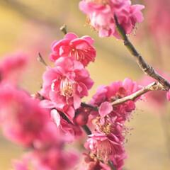 梅ジロー/メジロ/春/梅の花/梅 梅を撮りに行ったら、奇跡的に1羽のメジロ…(6枚目)