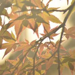 紅葉狩り/紅葉/一眼レフのある生活/一眼レフのある暮らし/一眼レフカメラ研究中/一眼レフカメラ/... 紅葉狩りに行ってきました(*´ー`*) …(2枚目)