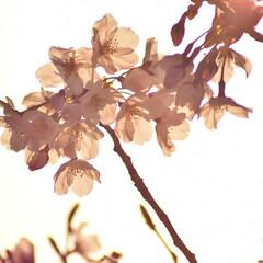 ニコン/Nikon/一眼レフ好きな人と繋がりたい/一眼レフ初心者/一眼レフのある生活/一眼レフのある暮らし/... 今年も桜を撮りに行ってきたよぉ(///ω…(2枚目)