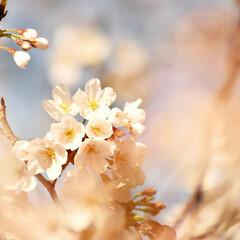 ニコン/Nikon/一眼レフ好きな人と繋がりたい/一眼レフ初心者/一眼レフのある生活/一眼レフのある暮らし/... 今年も桜を撮りに行ってきたよぉ(///ω…(3枚目)