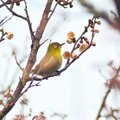 梅ジロー/メジロ/春/梅の花/梅 梅を撮りに行ったら、奇跡的に1羽のメジロ…(5枚目)