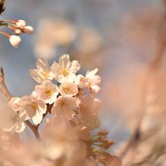 ニコン/Nikon/一眼レフ好きな人と繋がりたい/一眼レフ初心者/一眼レフのある生活/一眼レフのある暮らし/... 今年も桜を撮りに行ってきたよぉ(///ω…(8枚目)