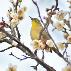 梅ジロー/メジロ/春/梅の花/梅 梅を撮りに行ったら、奇跡的に1羽のメジロ…(3枚目)