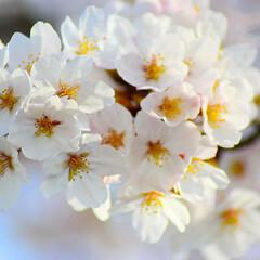 ニコン/Nikon/一眼レフ好きな人と繋がりたい/一眼レフ初心者/一眼レフのある生活/一眼レフのある暮らし/... 今年も桜を撮りに行ってきたよぉ(///ω…(1枚目)