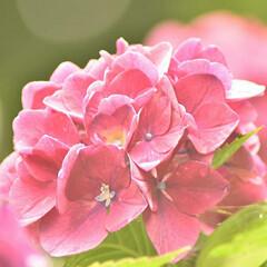 一眼レフカメラ研究中/一眼レフのある暮らし/一眼レフのある生活/一眼レフ初心者/一眼レフカメラ/一眼レフ/... 梅雨の合間に紫陽花を撮影しに行ってきまし…(2枚目)