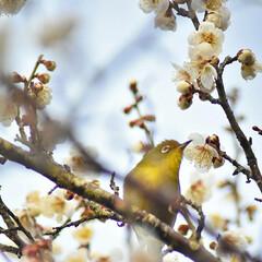 梅ジロー/メジロ/春/梅の花/梅 梅を撮りに行ったら、奇跡的に1羽のメジロ…(2枚目)