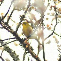 梅ジロー/メジロ/春/梅の花/梅 梅を撮りに行ったら、奇跡的に1羽のメジロ…(4枚目)