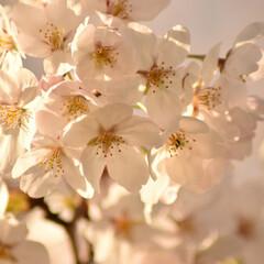 ニコン/Nikon/一眼レフ好きな人と繋がりたい/一眼レフ初心者/一眼レフのある生活/一眼レフのある暮らし/... 今年も桜を撮りに行ってきたよぉ(///ω…(9枚目)