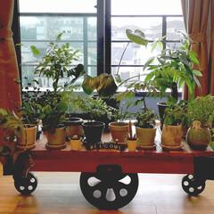 ジャーナルスタンダード/グリーンインテリア/観葉植物/グリーンのある暮らし/インテリア/住まい/... 我が家の子どもたちを集めてみました♥️