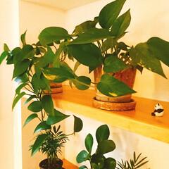 ポトス/階段棚/癒し/観葉植物/グリーン・フラワー/梅雨/... 溢れ出るポトス…w そろそろ植え替えなき…
