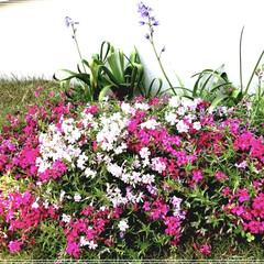 お庭づくり/庭仕事/ガーデニング 毎年少しずつ広がる芝桜🌸 可愛い💕💕