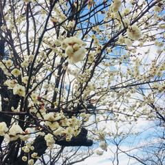 風景/花 もう梅が咲いていました。