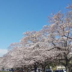 花見/春/風景/春の一枚 こんばんは🎵 本日天気が危ぶまれましたが…(5枚目)