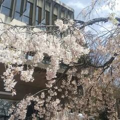 花見/春/風景/春の一枚 こんばんは🎵 本日天気が危ぶまれましたが…(2枚目)