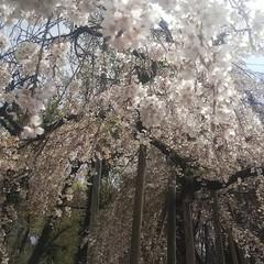 花見/春/風景/春の一枚 こんばんは🎵 本日天気が危ぶまれましたが…