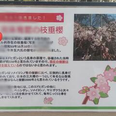 花見/春/風景/春の一枚 こんばんは🎵 本日天気が危ぶまれましたが…(4枚目)