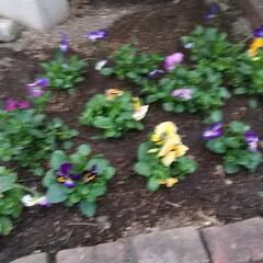 ビオラ/パンジー/花壇庭植え/ドッグラン/カフェ飯 お庭に花を咲かせましょう🎵 ってことで、…