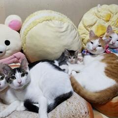兄妹猫/兄弟猫/子猫里親募集中/子猫/元保護猫/保護猫/... 白茶2人は4歳半の兄弟『チェリー&マーチ…